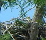 Eagle nest May, 2016