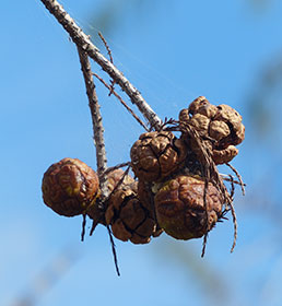 Cypress cones. Photo by Rose Flynn