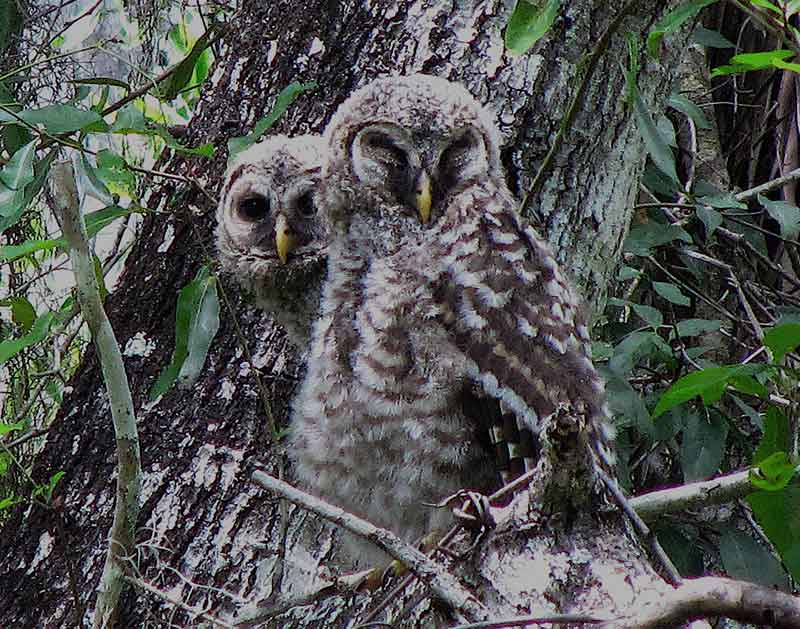 Barred Owl Babies