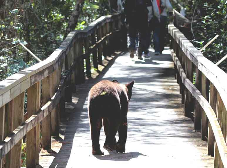 Bear on the boardwalk. Photo by Steve Paddon.