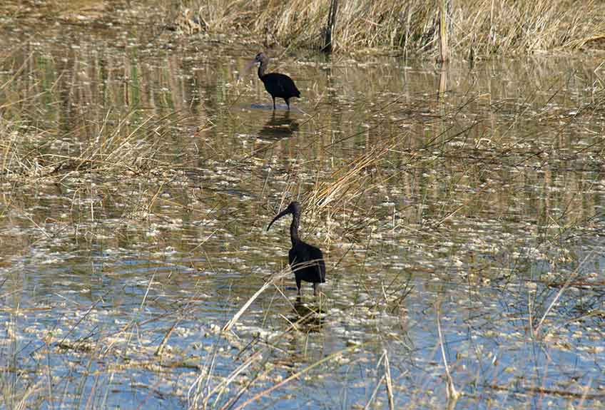Glossy Ibis on wet prairie. Photo by Patrick Higgins.