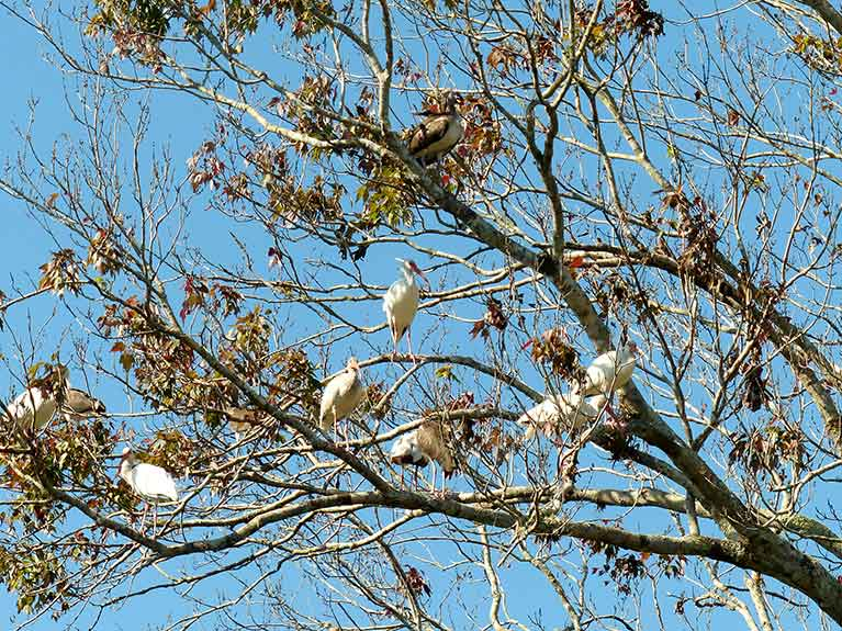 Ibis in red maple at entrance to Janes Scenic Drive. Photo by Patrick Higgins.