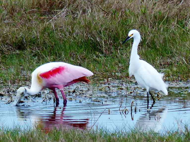 Roseate spoonbill with snowy egret looking on. Photo by Patrick Higgins.