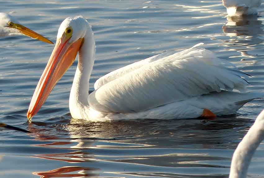 A white pelican from the Western Lakes making a winter visit to the Fakahatchee. Photo by Patrick Higgins.