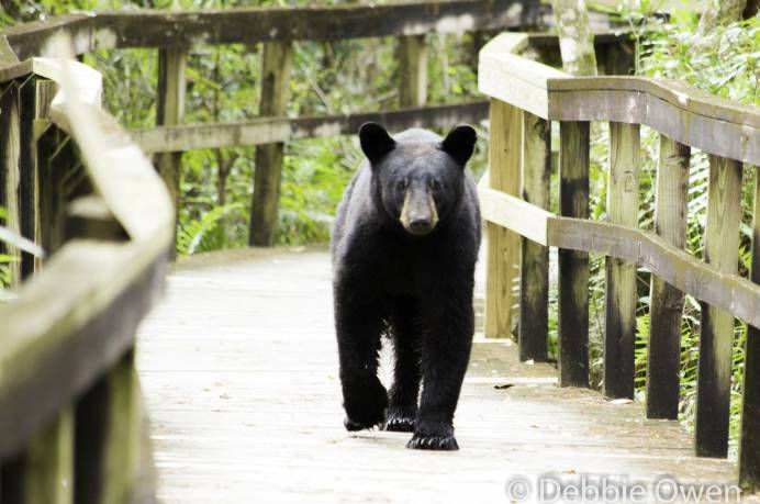 Debbie Owens meets a bear on the Big Cypress Bend Boardwalk.