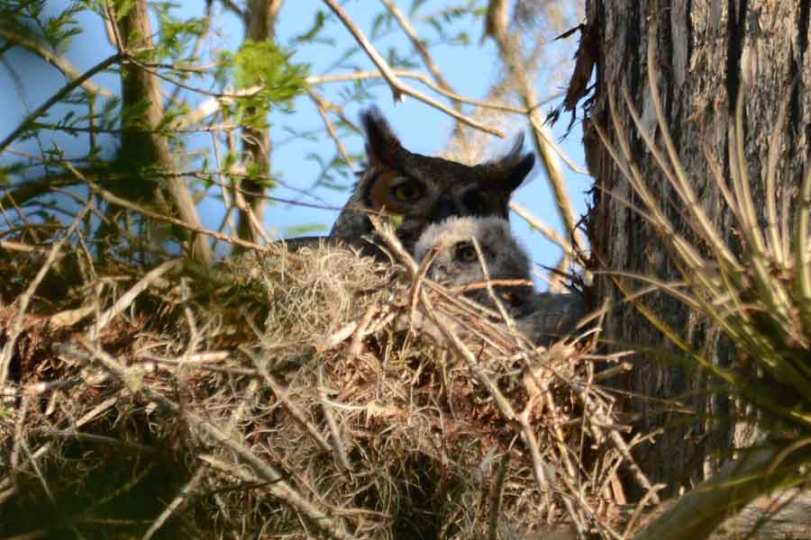 Pair of Great Horned Owls (Bubo virginianus) nesting within easy sight of the Boardwalk.  Photo by Leo Reed.