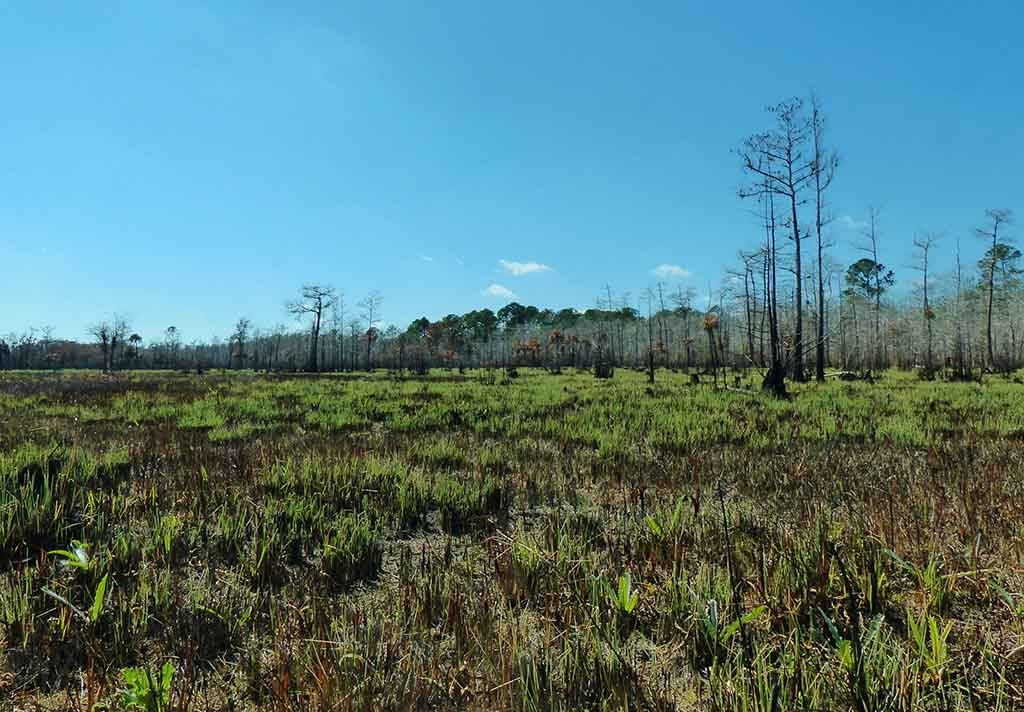 New growth abounds n Lee Cypress Prairie just two weeks after a prescribed burn. Photo by Patrick Higgins.