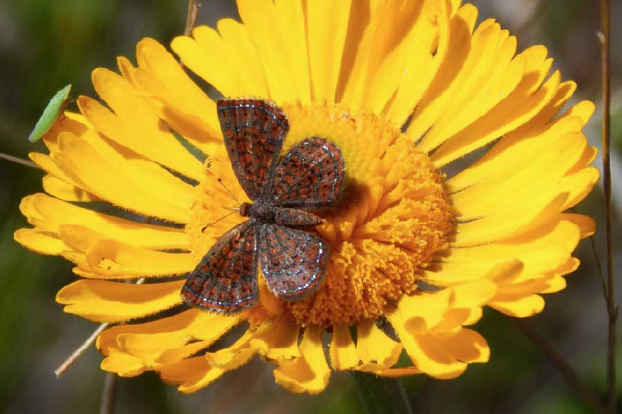 This Little Metalmark Butterfly, on an Everglades Daisy, is about ¾ of an inch wide. Photo by Becky Basford.