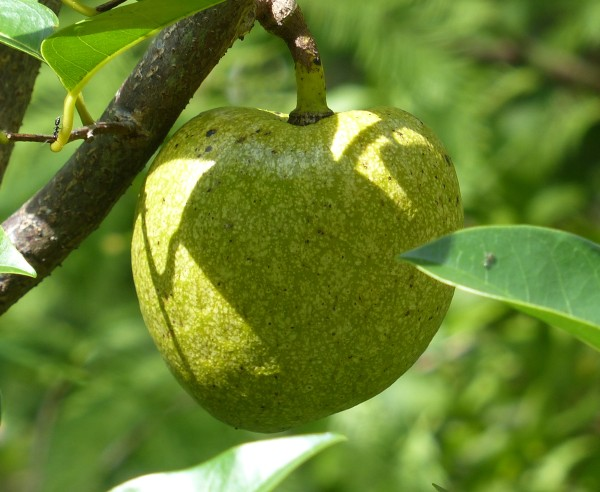 Ripe pond apple