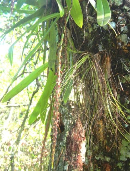 Bulbophyllum pachyrachis in situ, Zapata Swamp.