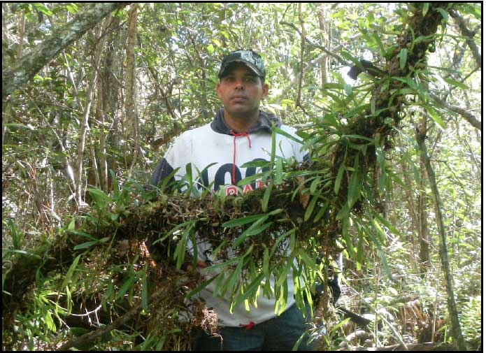 Guide with Bulbophyllum pachyrachis colony.