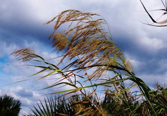 autumn-phragmites