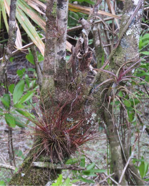 epiphytes