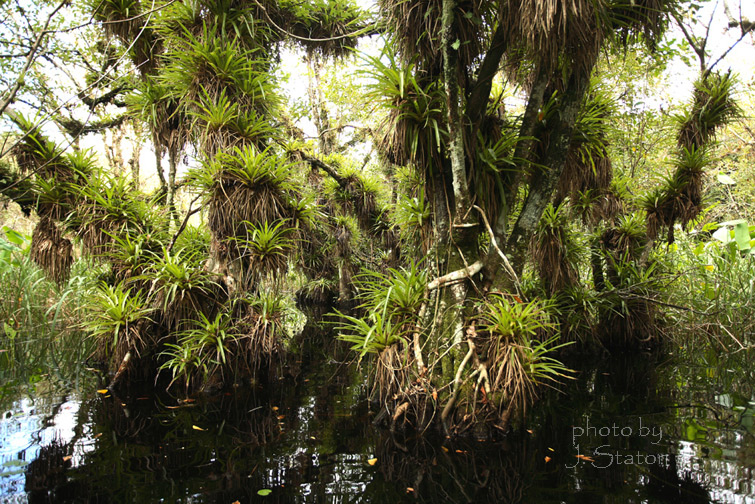Epiphytes thrive in slough and strand conditions. Photo by J. Slayton