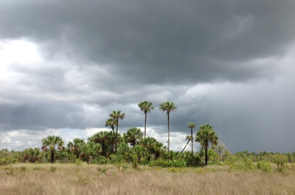 Hammock under an angry sky, West Prairie Fakahatchee. Photo by Rose Flynn