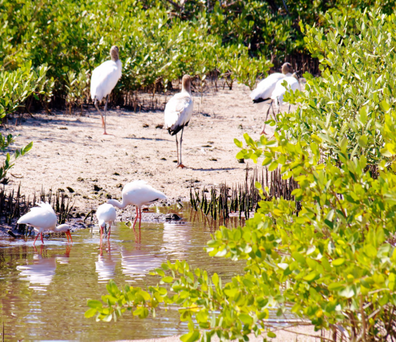 Ibis and wood storks in the black mangroves. Photo by Patrick Higgins.