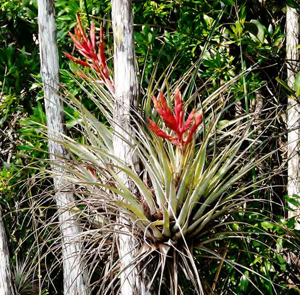 Cardinal airplant (Tillandsia fasciculata) Photo by Patrick Higgins.