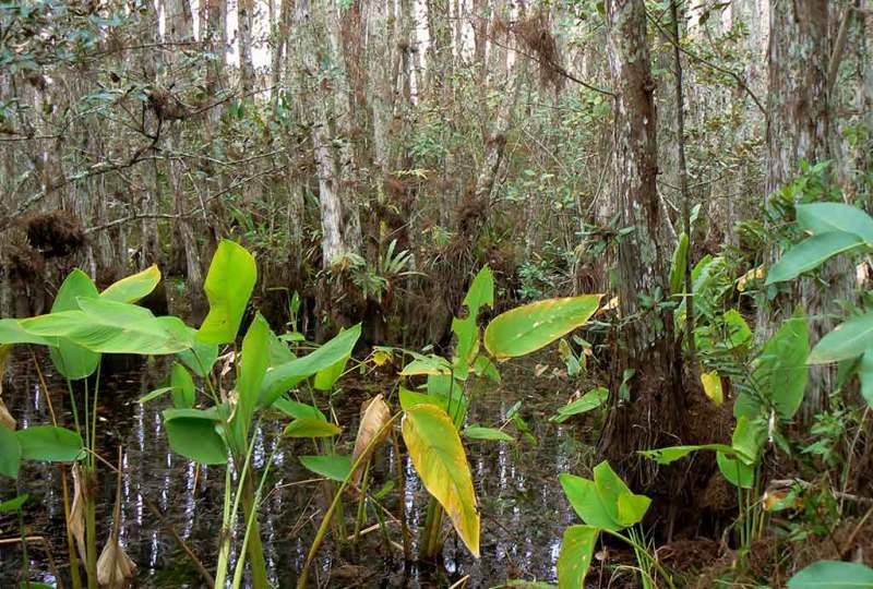 Cypress Swamp in Fakahatchee. Photo by Patrick Higgins.