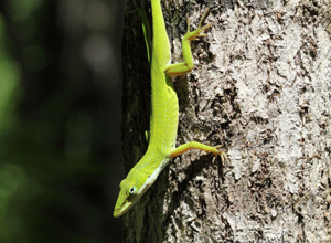 GREEN_ANOLE-home
