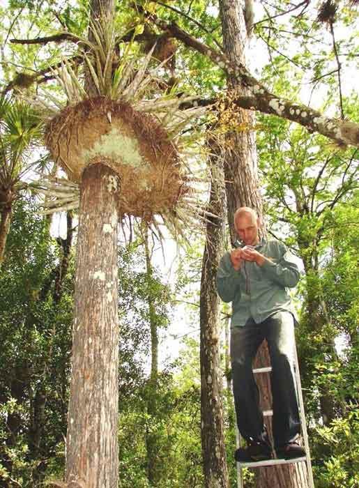 Matt Richards pollinates Cigar orchid (Cyrtopodium puntatum)from 15 feet up.