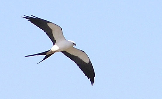 Swallow-tailed-Kite-for-web