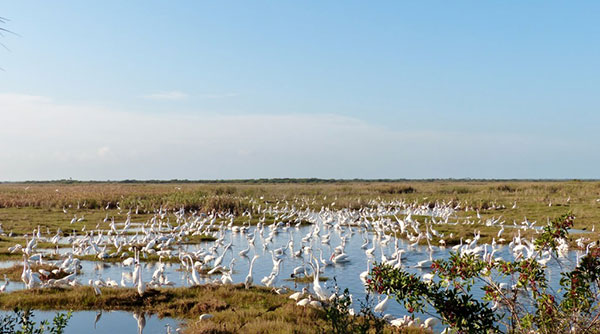 A mass of wading birds feeding on concentrated prey during the dry-down on the salt marsh south of the Trail. Photo by Patrick Higgins