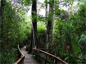 A stroll along the boardwalk is a memorable immersion encounter with the Fakahatchee.