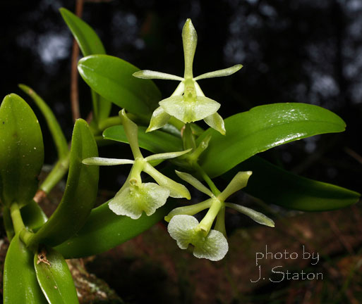 Epidendrum difforme, Umbelled orchid. Photo by J. Staton