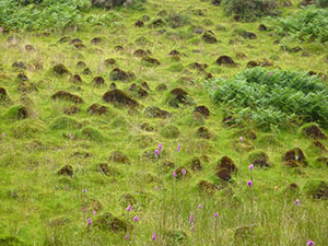 Field of yellow meadow ant mounds. Photo by Phil Champion