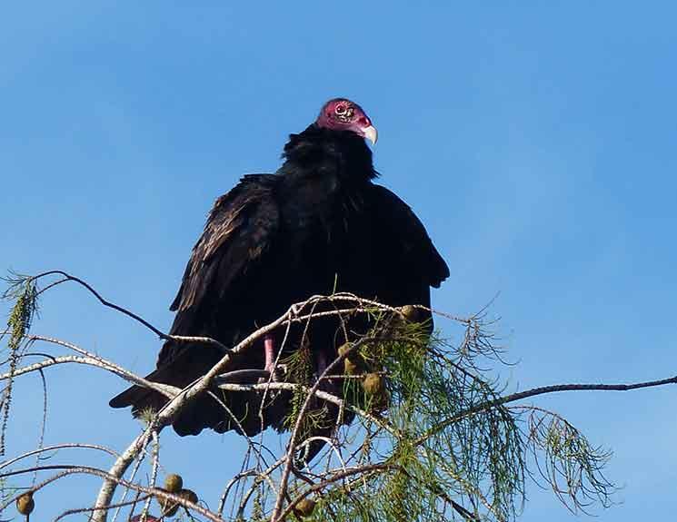 Turkey Vulture in Cypress Tree