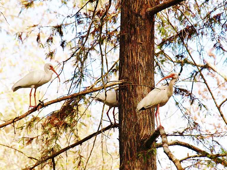 White ibis in cypress tree