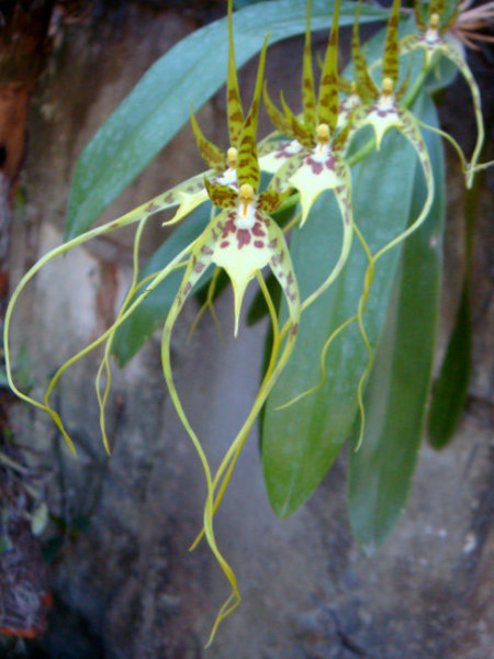 Brassia caudata closeup