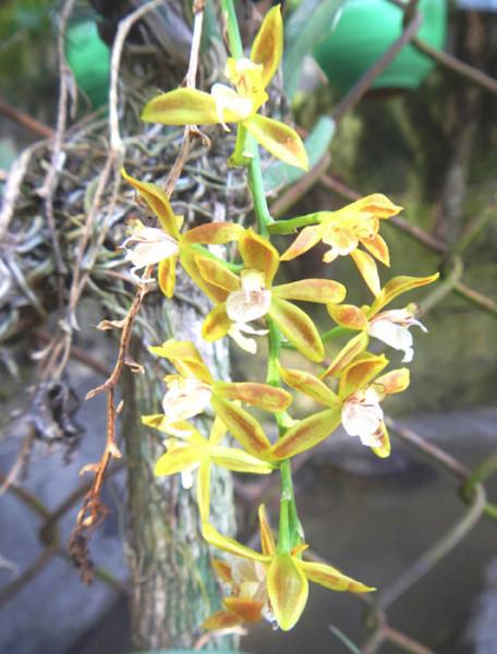 Macradenia lutescens in bloom in Dona Tica's backyard garden.