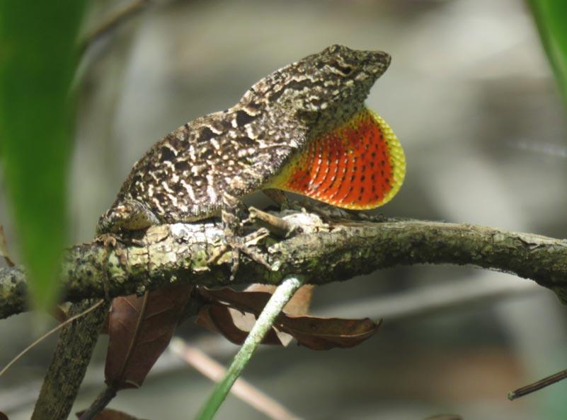 lizard dewlap