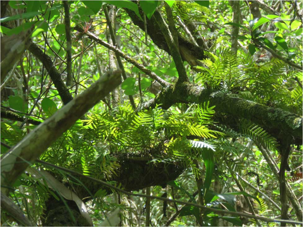 resurrection fern
